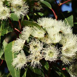 Eucalipto planta que ayuda al sistema respiratorio