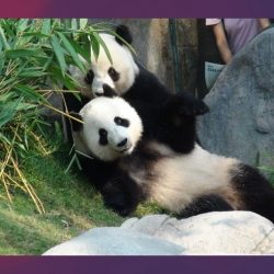 Pandas se aparean tras 10 años de indiferencia