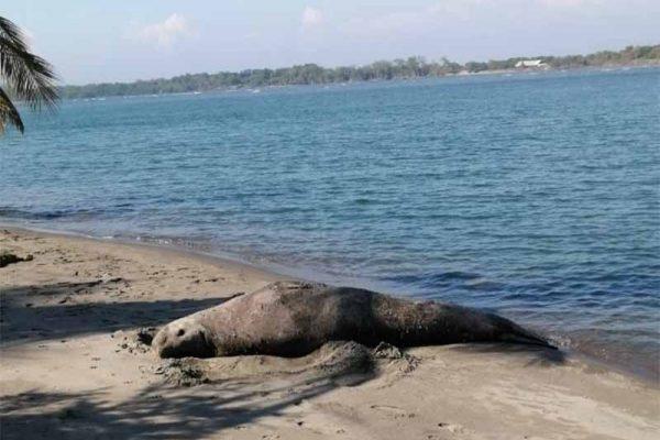 Elefante marino visto en Chiapas es encontrado en Huatulco
